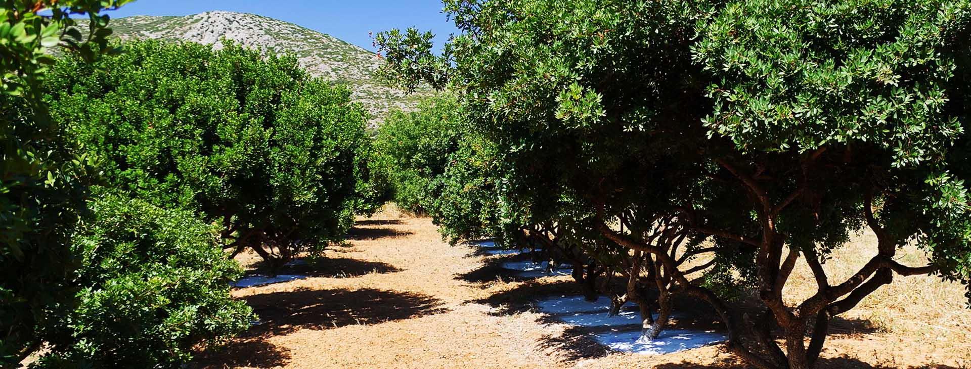 Mastic trees, Chios island